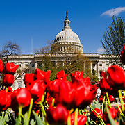 Red tulips in full bloom in the spring in front of the US Capitol Building dome in Washington DC against a clear blue sky. The focus is on the Capitol Dome in the background.