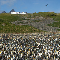 A predatory skua flies over incounted thousands of King Penguins crowding a rookery at Salisbury Plain, South Georgia, Antarctica.