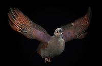 Crested Quail Dove, (Geotrygon versicolor); captive, credit: Pandemonium Aviaries/M.D.Kern