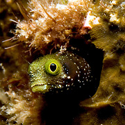 Spinyhead Blenny inhabit dead and living coral in the Bahamas and Caribbean; reside in worm tubes, perch with head extended; picture taken Roatan, Honduras.