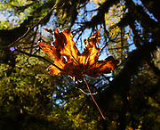 Bigleaf maple lights the gloom of conifer forests with its bright gold dress come fall. (Tom Reese / The Seattle Times, 2002)