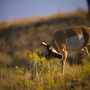 An antelope rustles its antlers on some rabbit brush in early autumn in the Lamar Valley of Yellowstone National Park.