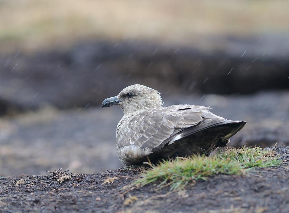 A Falkland Skua (Catharacta antarctica) sits out a rainstorm. Carcass Island, Falkland Islands. 15Feb16