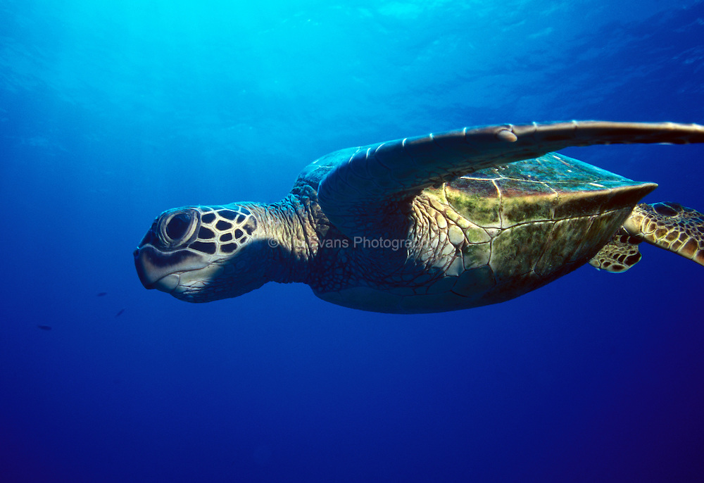 Green Sea Turtle, Ohau Hawaii