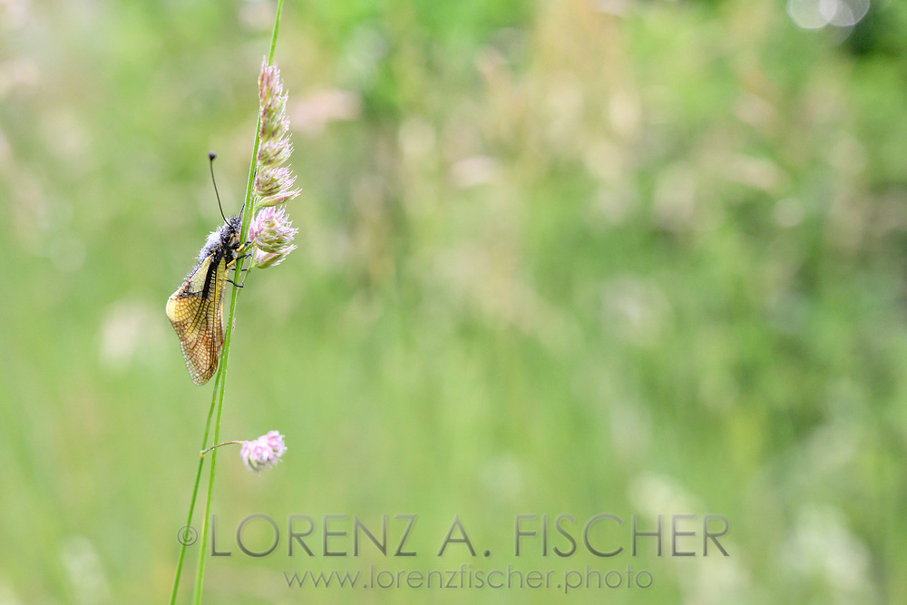 Libellen-Schmetterlingshaft (Libelloides coccajus) mit Tautropfen auf Knaulgras (Dactylus glomerata) in einem Trespen-Halbtrockenrasen (Mesobrometum), Tiefencastel, Parc Ela, Graubünden, Schweiz<br /> <br /> Owly sulphur (Libelloides coccajus) with drops of dew on cock's-foot (Dactylus glomerata) in a semi-dry grass meadow (Mesobrometum), Tiefencastel, Parc Ela, Graubünden, Switzerland