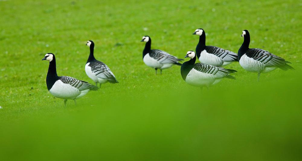 26.04.2009<br /> Barnacle Goose (Branta leucopsis) apácalúd<br /> Westerhever, Germany