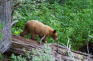 The River Safari in Blue River, British Columbia, offers one hour boat tours in the Monashee Mountains.  The tour operates by jet boat in one of the only inland temperate rainforests in the province.  Although the most sought after sightings are bears, both grizzly and black, there are also possibilities to see moose, eagle and osprey.  A blonde black bear cub.