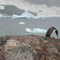 A Gentoo Penguin collects stones for its nest at a rookery on Cuverville Island, Antarctica.