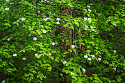 Mountain Dogwood (Cornus nuttallii), Yosemite National Park, California USA