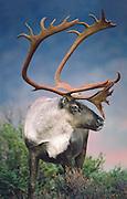 Caribou, Denali National Park, Alaska. Autumn bulls reach four feet at the shoulder and weigh 400 pounds. Digitally manipulated.