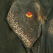 Detail of the ear of an elephant. Tilaka has been drwan on the ear.