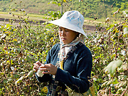 Harvesting cotton in the Tai Lue village of Ban Napa, Oudomxay province, Lao PDR. Cotton picked from the Tai Lue village of Ban Napa, Oudomxay province, Lao PDR. The Tai Lue are known as expert weavers particularly of cotton which they cultivate locally.