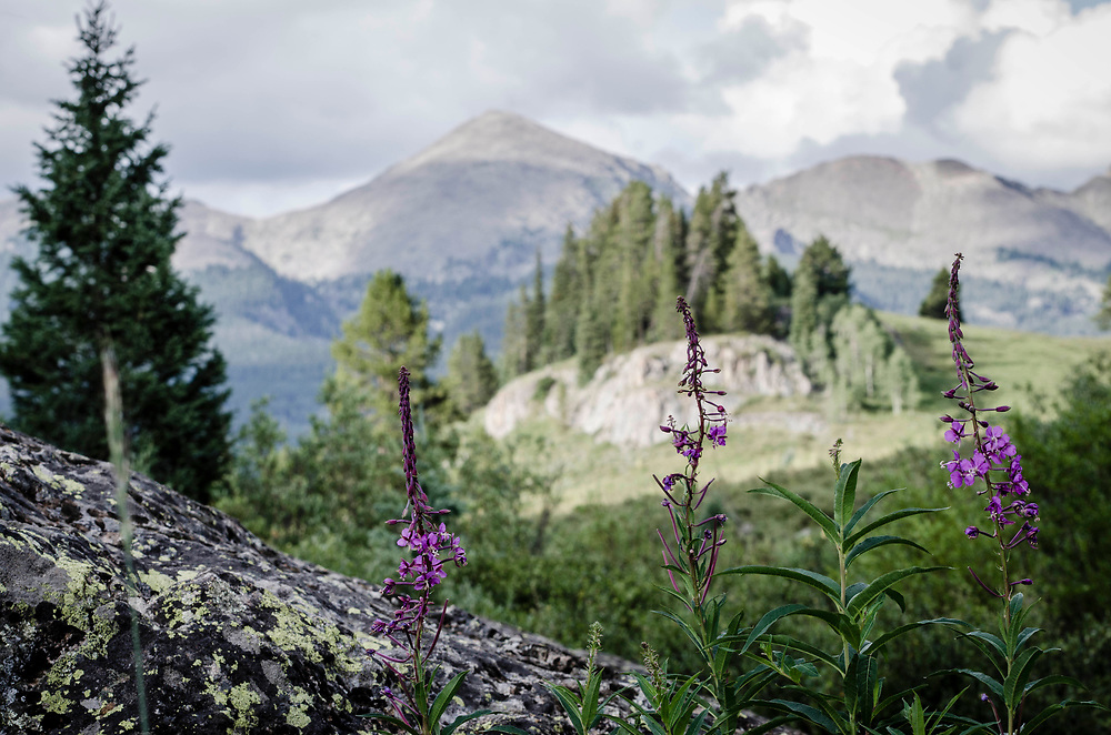 Photography of pink flowers in the Colorado mountains