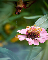 Hummingbird Clearwing moth leaving a Zinnia flower. Image taken with a Nikon 1 V3 camera and 70-300 VR lens.