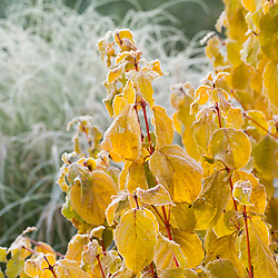 The leaves and red stems of Cornus sanguinea 'Midwinter Fire' in winter - Dogwood