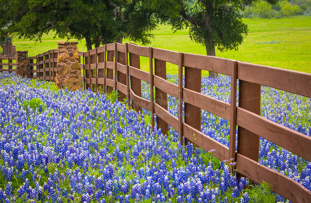 Ranch fence in the Texas Hill Country, surrounded by bluebonnets