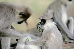 Hanuman Langurs Grooming
