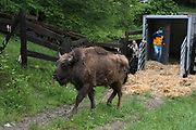 A European bison, Bison bonasus, is released in the wild by the team of ARCA Foundation, as part of the project Life Re-Bison organized by the Rewilding Europe foundation.