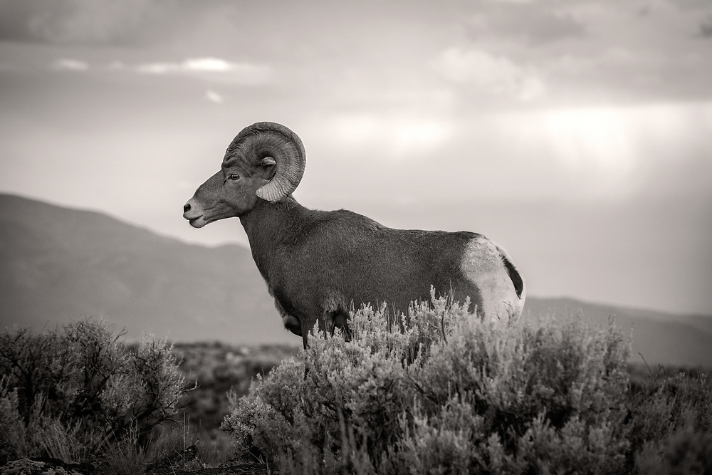 Bighorn Sheep, Rio Grande Gorge Bridge Trail, Taos County, New Mexico