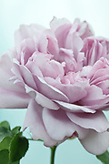 Rosa 'Charles Rennie Mackintosh' - English Rose by David Austin