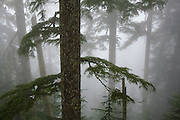 Coniferous forest in fog, Mount Baker-Snoqualmie National Forest, Washington.