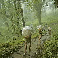 NEPAL, HIMALAYA. Expedition porters trek through lowland rain forests towards Mount Everest Base Camp during monsoon rains in August.