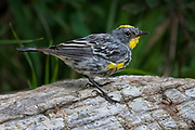 Yellow-rumped warbler, Sandia Mountains, New Mexico