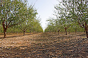 Almond Tree plantation. Photographed in Israel