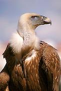 Griffon Vulture (Gyps fulvus)  portrait, Gamla, Israel