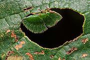 Leaf-mimic Treehopper (Membracidae)<br /> Mapari<br /> Rupununi<br /> GUYANA<br /> South America