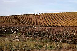 Venosa (PZ) Ottobre 2010 - Vitigni di Aglianico del Vulture doc nella zona del Vulture. Nella Foto: Vigneti della Cantina Terre degli Svevi.