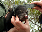 Liv3/17/04  Photo by Mara Lavitt--Cub look<br /> ML0118E #0665<br /> A female black bear cub makes eye contact with the camera as she is kept warm by Conservation and Environmental Police Officer Todd Chemacki.