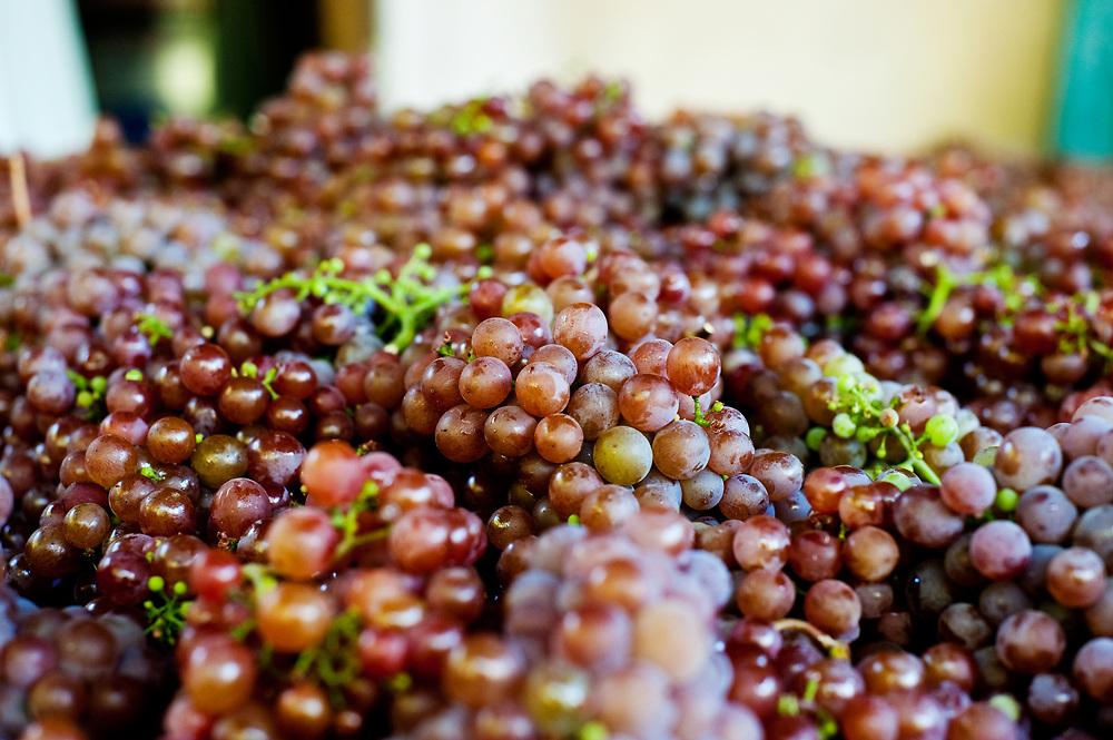 Harvested gewurztraminer at Helvetia Vineyards