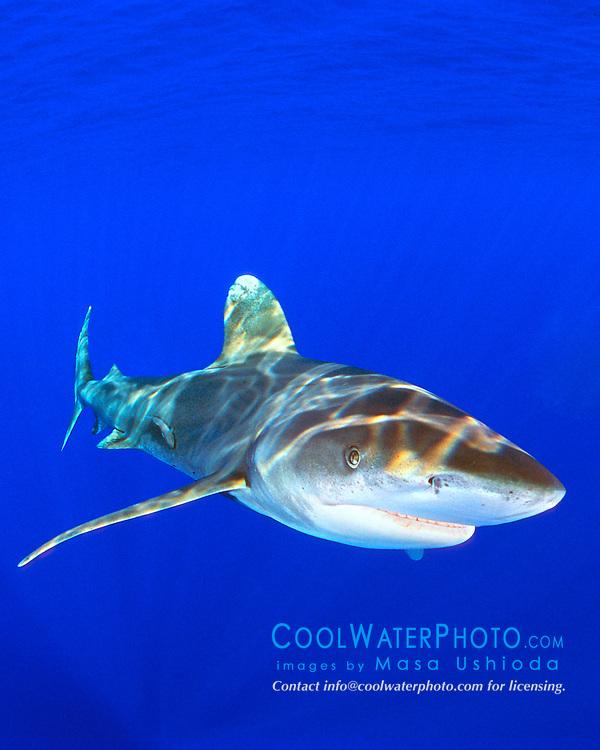 oceanic whitetip sharks with remora, Carcharhinus longimanus, Big Island, Hawaii, Pacific Ocean