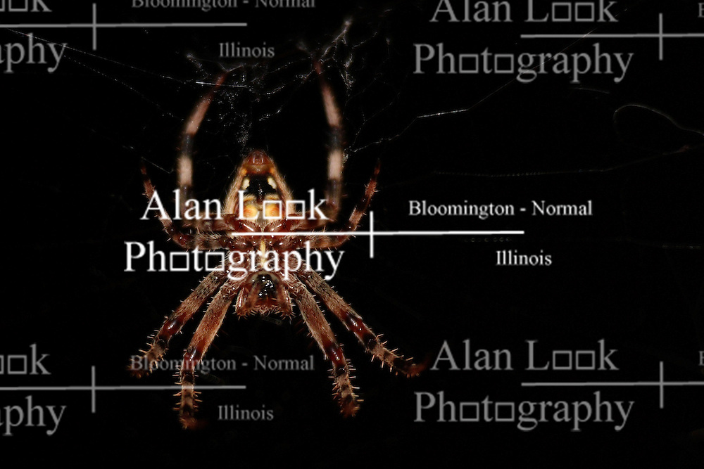 05 Aug 2007: Macro of a small spider.  Believed to ba an orb weaver. (Photo by Alan Look)