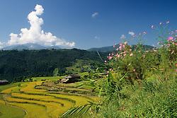 Asia, Nepal, Annapurna Region. Terraced fields of barley and grain near Pokhara.