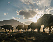 """Yak herd returning. Life in Baiqara, a Wakhi High pasture inhabited for about 6 months of the year, from May until October. Guiding and photographing Paul Salopek while trekking with 2 donkeys across the """"Roof of the World"""", through the Afghan Pamir and Hindukush mountains, into Pakistan and the Karakoram mountains of the Greater Western Himalaya."""