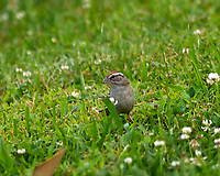 Chipping Sparrow. Image taken with a Nikon D2xs camera and 300 mm f/2.8 VR lens