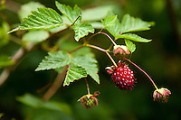 Salmonberries (Rubus spectabilis) on Orcas Island, WA.