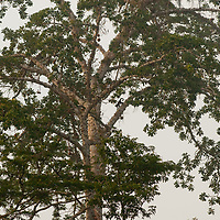 A monkey climbs down a tree branch in the canopy of Peru's Amazon Jungle.