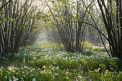 The Nuttery at Sissinghurst Castle garden in spring. Carpet of white bluebell -  Hyacinthoides non-scripta 'Alba'