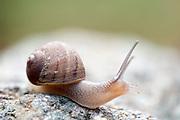 Land Snail, Gastropod, Lesvos Island, Greece, soft focus, eye, stalk, small