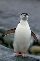 Portrait of a Chinstrap Penguin (Pygoscelis antarctica).  Hydruga Rocks, Antarctica.