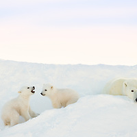 Mother Polar Bear watching her two cubs playing at their day den in Wapusk National Park south of Churchill Manitoba Canada near the Hudson Bay.