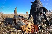 Black Labrador Retriever pup fetching rooster pheasant in South Dakota