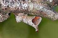 Chocolate-tip - Clostera curtula