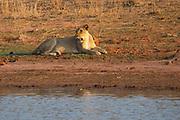 Lioness, Panthera leo, lying at a waterhole. Photographed at Lake Kariba National Park, Zimbabwe