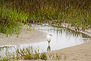 A Snowy Egret hunts along the reeds at Gould's Inlet in St. Simons Island, Georgia.