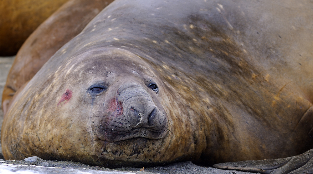 An adult male Southern Elephant Seals (Mirounga leonina) lies on the beach while  moulting. Shingle Cove, Coronation Island, South Orkney Islands, Antarctica. 28Feb16