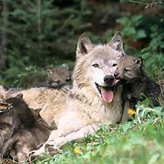 Gray Wolf, (Canis lupus) Female nursing pups near den. Montana. Captive Animal.
